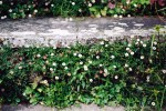 Yorkstone with Erigeron