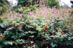 Rose hips and geraniums