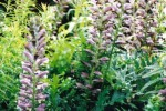 Bear's breeches/Acanthus spinosus