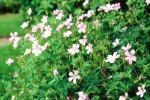 Geranium Wargrave pink