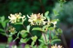Honeysuckle/Lonicera