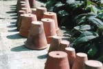 Old terracotta pots with sage