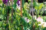 Sweet peas/Lathyrus odorata