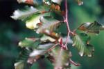 Beech/Fagus sylvatica