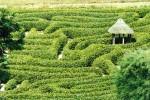 Laurel maze