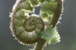 Fern/Polysticum setiferum