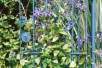 Blue metal gate with purple clematis
