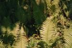 Ferns/Polysticum setiferum