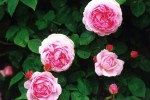 Rosa Constance Spry