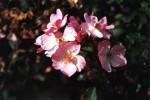 Rosa Rosy cushion