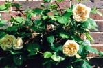 Rosa Marigold