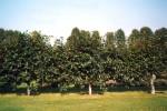 Pleached Lime trees/Tilia cordata