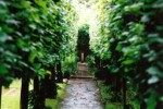 Lime tree avenue/Tilia cordata