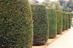 Yew topiary/Taxus baccata