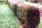 Berberis hedge