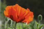 Oriental poppy/Papaver orientale